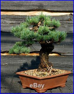 Specimen Bonsai Tree Five Needle Pine Japanese White Pine FNPST-724D