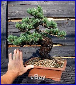 Specimen Bonsai Tree Five Needle Pine Japanese White Pine FNPST-724E