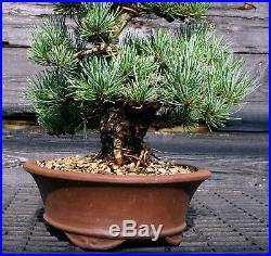 Specimen Bonsai Tree Five Needle Pine Japanese White Pine FNPST-724H