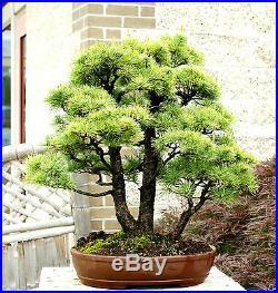 Specimen Bonsai Tree Five Needle Pine Japanese White Pine FNPST-811A