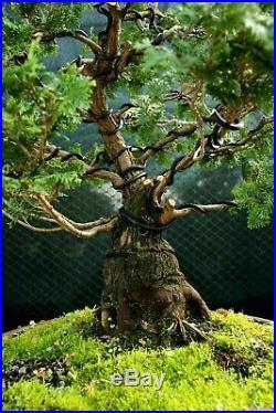 Specimen Bonsai Tree Hinoki Cypress HCST-1216C