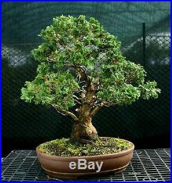 Specimen Bonsai Tree Hinoki Cypress HCST-1216E