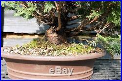 Specimen Bonsai Tree Hinoki Cypress HCST-809B