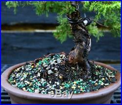 Specimen Bonsai Tree Shimpaku Juniper Itoigawa SJI-1030D