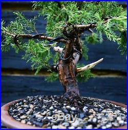 Specimen Bonsai Tree Shimpaku Juniper Itoigawa SJI-1030E
