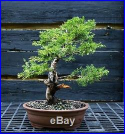 Specimen Bonsai Tree Shimpaku Juniper Itoigawa SJI-1030G