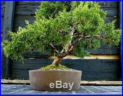 Specimen Bonsai Tree Shimpaku Juniper Kishu SJK-403B