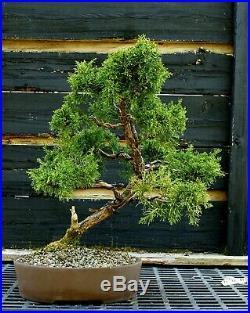 Specimen Bonsai Tree Shimpaku Juniper Kishu SJK-403C
