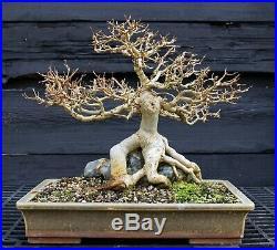 Specimen Bonsai Tree Trident Maple Root Over Rock TMORST-202