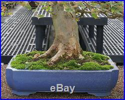 Specimen Bonsai Tree Trident Maple Specimen TMST-1004B