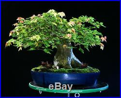 Specimen Bonsai Tree Trident Maple TMST-1229A