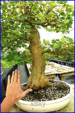Specimen Bonsai Tree Trident Maple TMST-811B