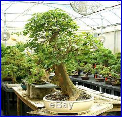 Specimen Bonsai Tree Trident Maple TMST-811C