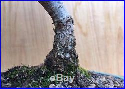 Specimen Chinese Catlin Elm Bonsai Tree Thick Trunk Movement Very Small Leaves