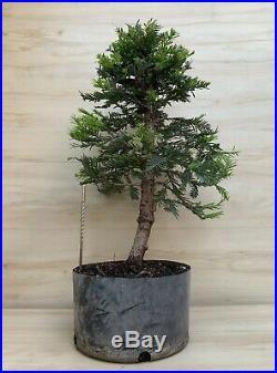 Specimen Coastal Redwood Bonsai Tree Huge Thick Barky Trunk Kifu