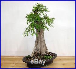 Specimen Collected Bald Cypress Bonsai