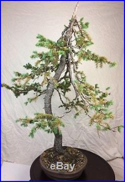 Specimen Collected Engelmann Spruce Bonsai Tree Show Quality! Handmade Pot
