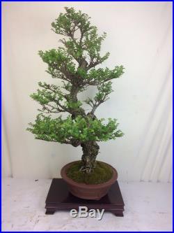 Specimen Cork Bark Seiju Elm Bonsai Tree Signed Japanese Tokoname Pot