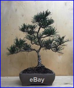 Specimen Dwarf Japanese Black Pine Bonsai Evergreen Thick Trunk