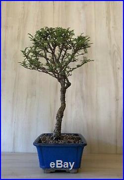 Specimen Dwarf Seiju Elm Bonsai Tree Old Thick Trunk Tiny Leaves