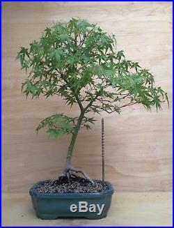 Specimen Green Japanese Maple Bonsai Tree Thick Trunk Nebari Momiji
