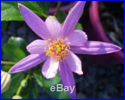 Specimen Grewia Flowering Bonsai Huge Thick Trunk Purple Flower IN BLOOM