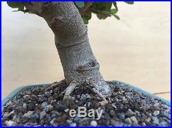 Specimen Grewia Flowering Bonsai Huge Thick Trunk Purple Flower Nice Movement