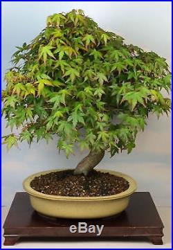 Specimen Japanese Maple Bonsai Tree Tokoname Pot! Red Green Kotohime