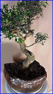 Specimen Large Imported Formal Style Chinese Elm Bonsai Tree, custom Bonsai pot