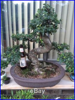 Specimen Massive 60 Year Old Chinese Elm Bonsai