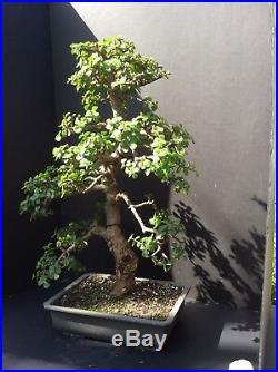 Specimen Portulacaria Afra (Jade) Bonsai