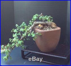 Specimen Portulacaria Afra (Jade) Cascade Bonsai
