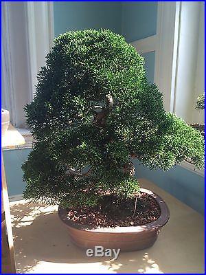 Specimen Shimpaku Juniper bonsai tree