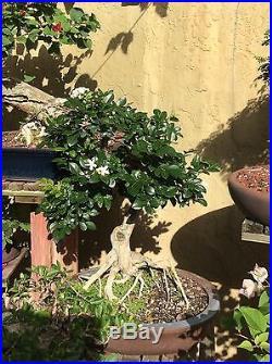 Specimen Water Jasmine Bonsai