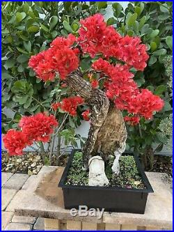 Spectacular Bougainvillea Spectabilis Bonsai