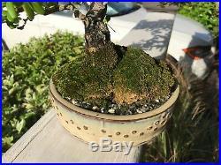 Spiny Black Olive (Bucida spinosa =molinetti) Bonsai