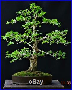 Spiny hackberry bonsai Celtis spinosa Tala Medium size