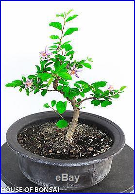 Star lavender flower bonsai tree / long blooming season/strong growth