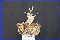 Stout Shohin Trident Maple Bonsai PENNY START & NO RESERVE