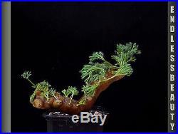Stunning Sarcocaulon Multifidum Plant / Caudex / Succulent / Bonsai No3