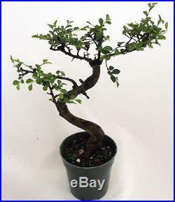 Stylized Imported Japanese Zelkova Bonsai Tree 4 Pot