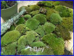 Super Mix Live Moss Assortment for Bonsai Terrariums Fairy Garden Vivarium