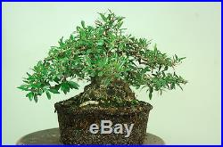 Super sale, Florida Privet bonsai. Styled Tree. Last one
