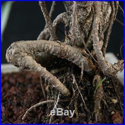 Taiwanese Ficus Chuhin Bonsai Tree Tiger Bark # 3608