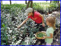 Tea Plants, Green Tea Plants, Camellia sinensis, 6 Plants