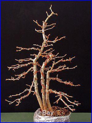 Three Tree American Larch Bonsai