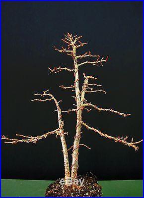Three Tree Larch Bonsai