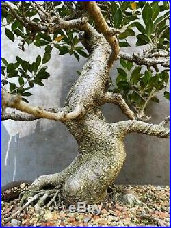 Tiger Bark Ficus Bonsai on clay pot