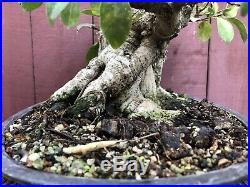Tigerbark Ficus Bonsai Specimen