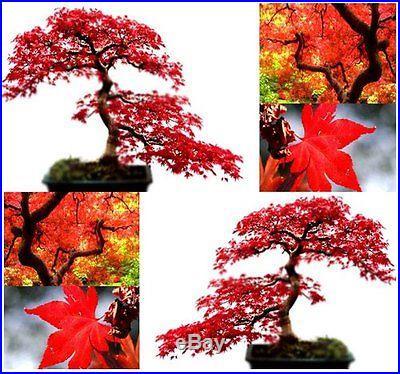 Tree japanese bonsai maple juniper pine rare grafted pre black seeds red dwarf